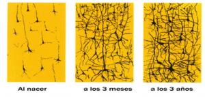 Aumento de el número de conexiones entre las neuronas dependiendo de la maduración y de la experiencia